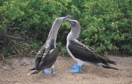 Pair of Blue-footed Boobies.