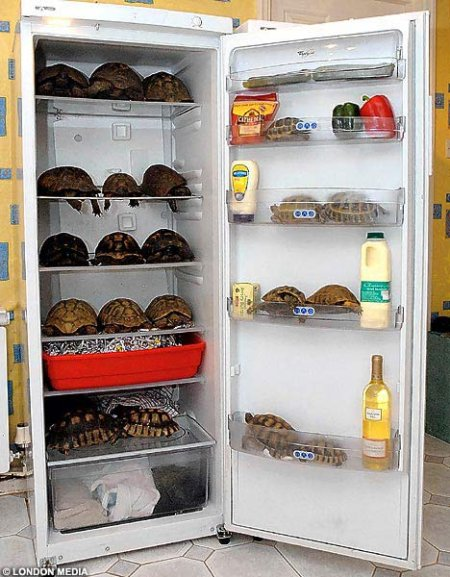 Tortoises in the fridge