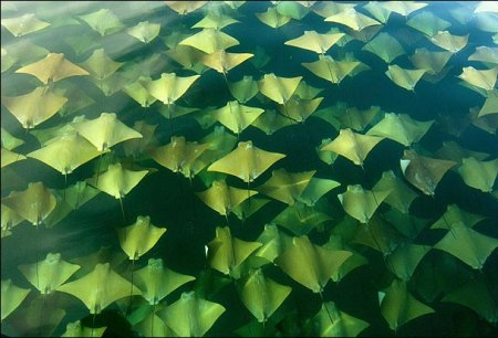 Cownose ray mass migration