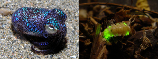 bioluminescence-squid-firefly